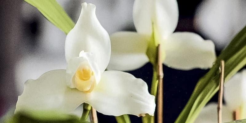 Descripción-de-foto-Acercamiento-de-la-Monja-Blanca-donde-se-observan-sus-pétalos-hojas-y-botón-con-centro-amarillo.-Crédito-de-foto-Imperio-Chapín