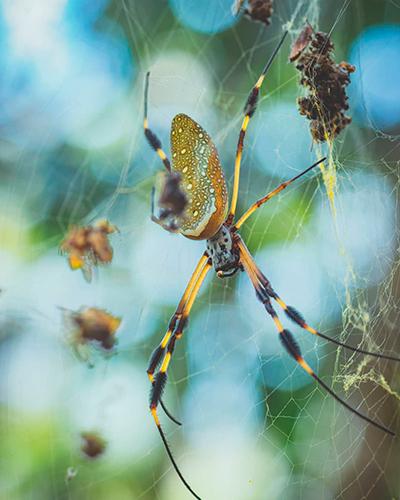 Descripción de foto - Acercamiento de una araña seda de oro colgada en un árbol en Lanquín. -Descripción de foto - @rudys_orrego- instagram