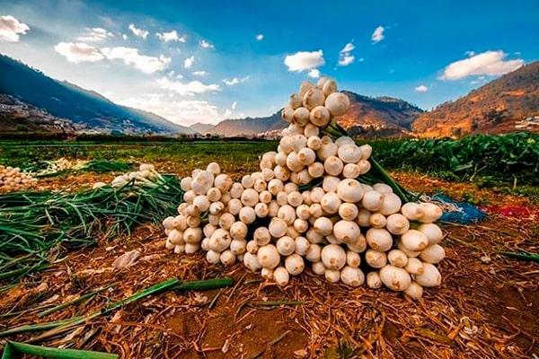 Descripción de foto - Cebollas gigantes apiladas unas sobre las otras en medio del campo. - Crédito de foto - @a_tortola - instagram