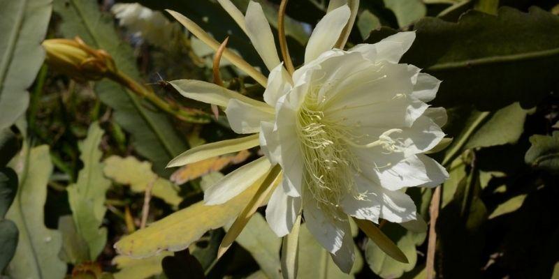 Descripción de foto - Fotografía de la Galán de la noche de flor abierta. - Crédito de foto - @challenguate