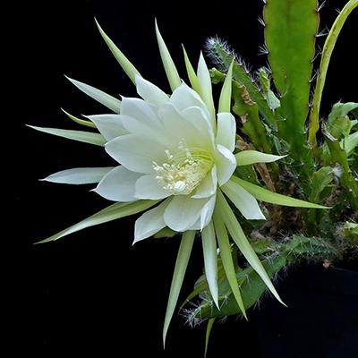 Descripción de foto - Fotografía de la Galán de la noche, tomado con la flor abierta que presenta sus petalos blancos. - Crédito de foto - SuccSeed