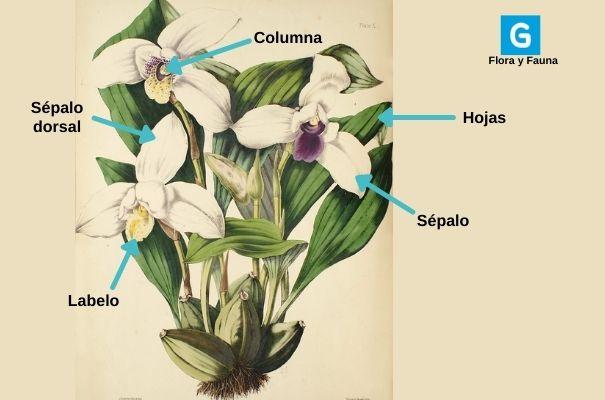 Descripción de foto - Lámina de las partes de una monja blanca con labelo, sépalo dorsal, sépalo, columna, tallo y flor ubicados. - Crédito de foto - Guatemala. com