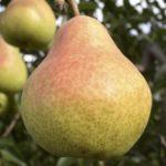 ¿Por qué San Bartolomé Milpas Altas es la cuna de la pera?