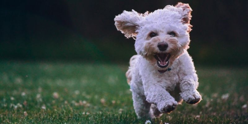 Descripción de foto - Perro raza Poodle corriendo en un jardín en dirección a la cámara - Crédito de foto - @joeyc