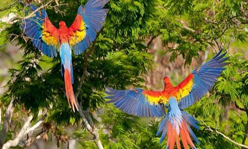 Descripción de foto - Vista aérea de dos guacamayas sobrevolando los árboles de Tikal.- Crédito de foto - Wildlife conservation society