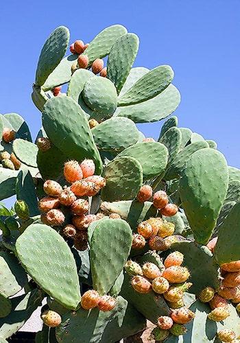 Descripción de foto - acercamiento del cactus completo, con frutos, a plena luz del día. - Crédito de foto - Giuseppe Mazza