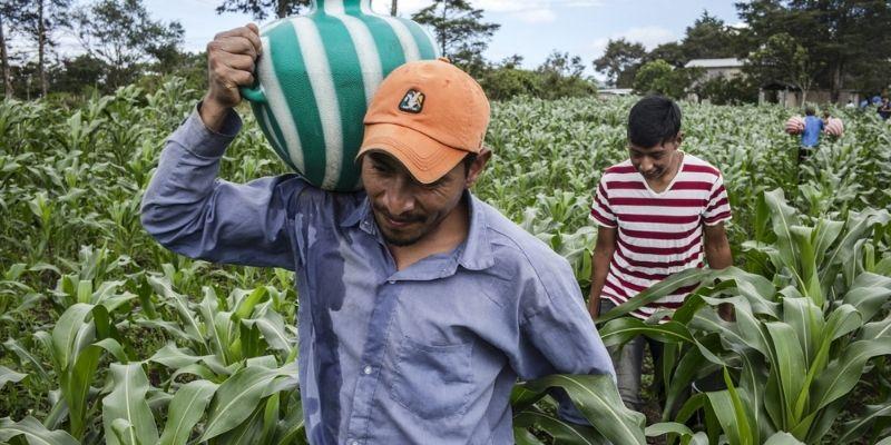 Descripción de foto - hombre cargando una tinaja de agua en medio de campos de cultivo. - Crédito de foto - FAO