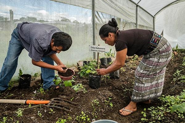 Descripción de foto - hombre y mujer trabajando en cultivo de chile habanero. - Crédito de foto - FAO