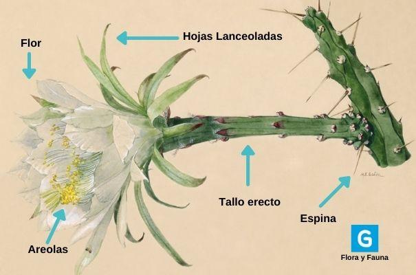 Descripción de foto: lámina de las partes de la galán de noche con flores, tallo, espinas areola y hojas. (Crédito de foto: Guatemala.com)