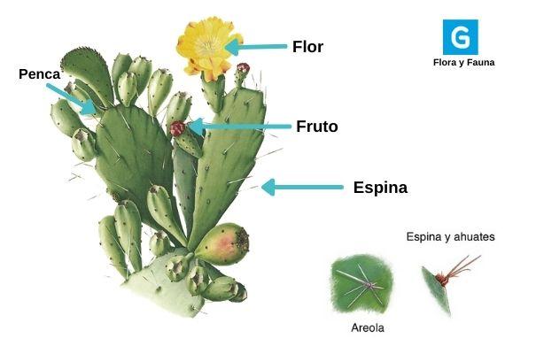 Descripción de foto: lámina de las partes del nopal que señala flor, fruto, espina, penca, areola y ahuaetes. (Crédito de foto: Guatemala.com)