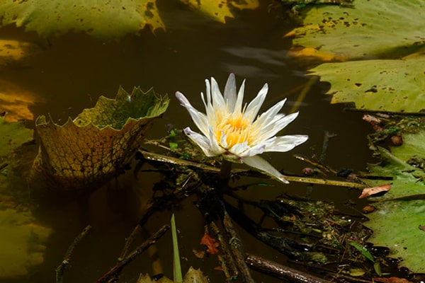 Descripción de foto - lirio de agua sumergido en un río. - Crédito - Maya ArchaeologyDescripción de foto - lirio de agua sumergido en un río. - Crédito - Maya Archaeology