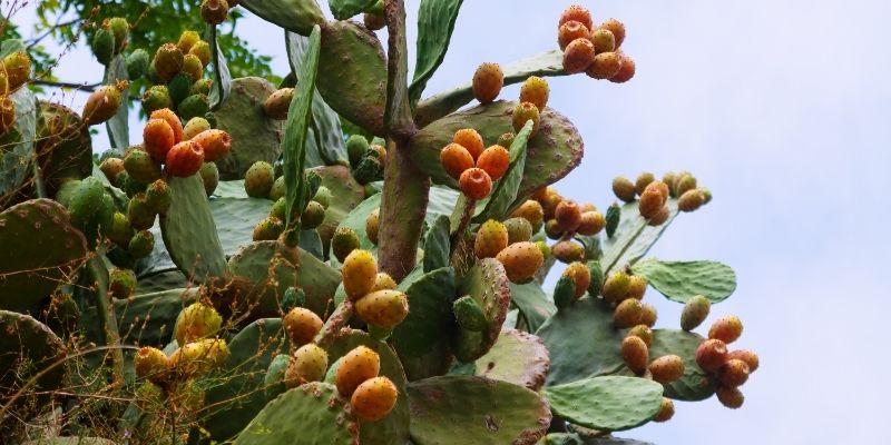 Descripción de foto - planta del nopal guatemalteco con su fruto. - Crédito de foto -bearfotos