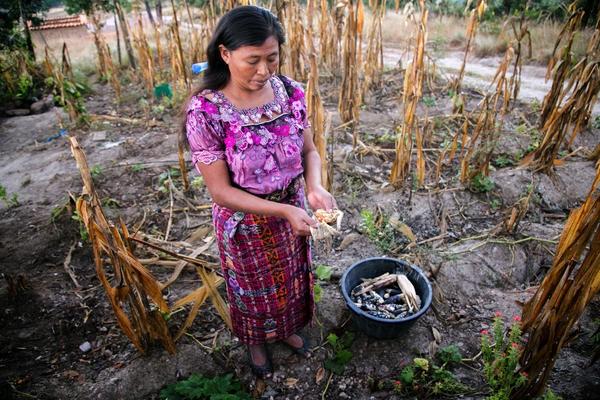 Descricpión de foto - Mujer indígena en su campo de cultivo de maíz. - Crédito de foto - ichi.pro