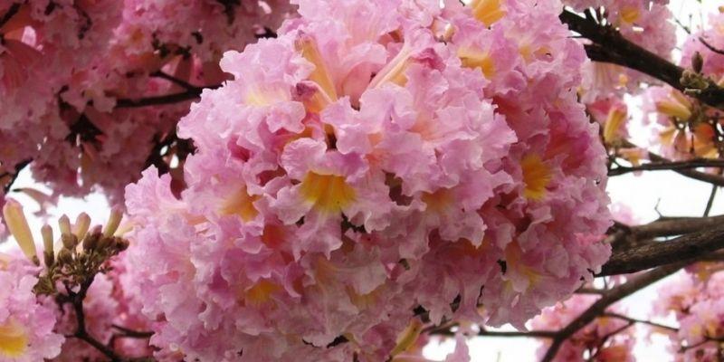 Descripción de Foto - acercamiento de un matilisguate completamente floreado, de color rosado. - Crédito de foto - The plant Attraction
