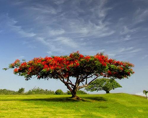 Descripción de foto - Árbol de flamboyán colocado en un campo abierto. - Crédito de foto - Aboutespañol. com