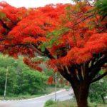Árbol de flamboyán en Guatemala