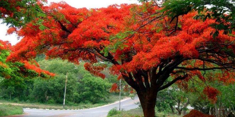 Descripción de foto - Árbol de flamboyán en medio de la carretera con tus flores abiertas. - Crédito de foto - @olindasalguero