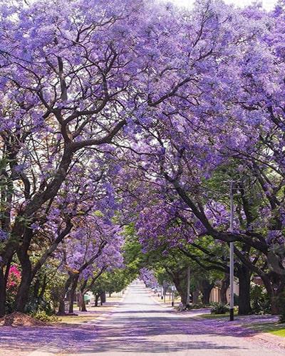 Descripción de foto - Árboles de Jacaranda decorando unas calles con sus pétalos. - Crédito de foto - Vecteezy