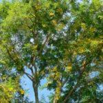 Árbol de guachipilín en Guatemala