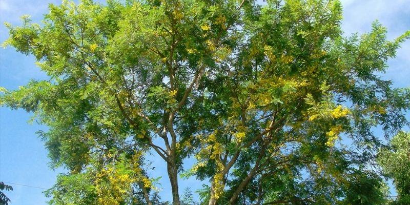 Descripción de foto - árbol de guachipilín, con las flores abiertas, pintando el árbol de amarillo. -Crédito de foto - Verde Natura