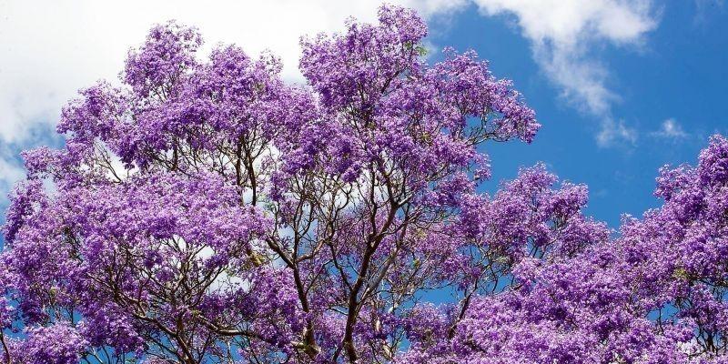 Descripción de foto - árbol de jacaranda floreciendo, de fondo tiene el cielo azul con algunas nubes. - Crédito de fotos - Flores