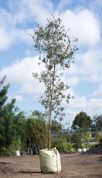 Descripción de foto - árbol joven de calistemo, en un saco con tierra, listo para ser plantado. - Crédito de foto - Viveros Zirahuen