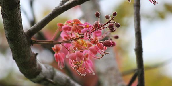 Descripción de foto - Acercamiento de flor de Cassia grandis, sostenida de una rama. - Crédito de foto - Eulampio Duarte