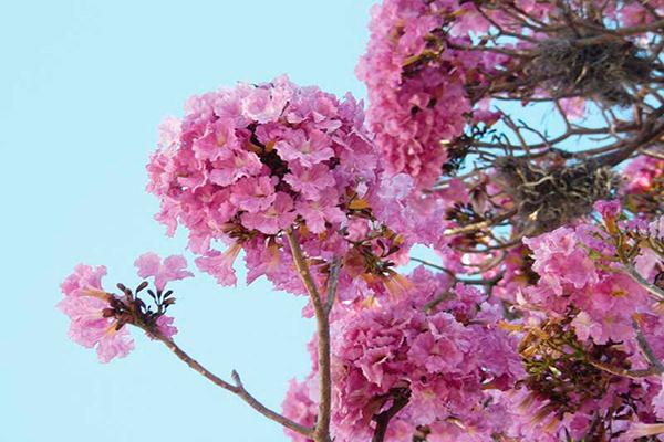Descripción de foto - Acercamiento de la flor de matilisguate, de color rosa y con varias enredaderas en sus ramas. - Crédito de foto - Emilia Ruíz