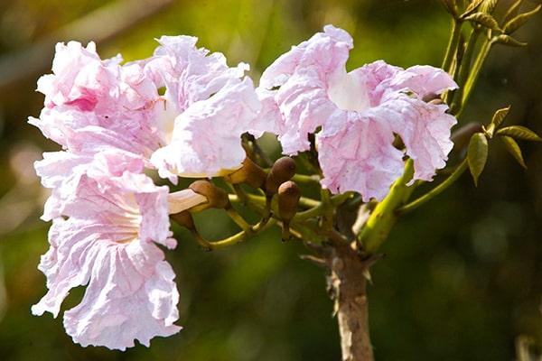 Descripción de foto - Acercamiento del género Tabebuia rosea scaled - crédito de foto - UFM