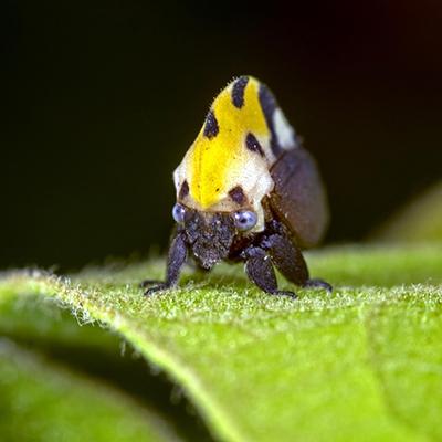 Descripción de foto - Acercamiento del torito amarillo, parado en una hoja, con vista frontal. - Crédito de foto - Fotomecánica