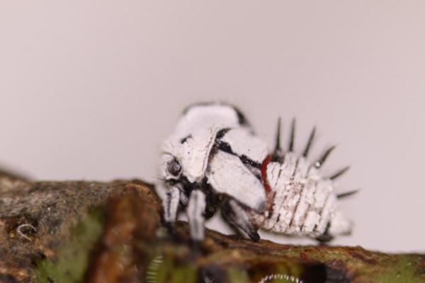 Descripción de foto - Acercamiento del torito blanco en su etapa adulta, parado en una rama de árbol. - Crédito de foto - Fiprodefo
