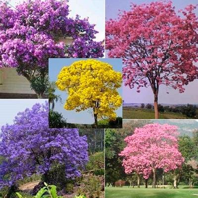 Descripción de foto - Collage de cinco diferentes tipos de colores de árboles de guayacán. - Crédito de foto - Mercado libre