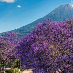 Árbol de Jacaranda en Guatemala