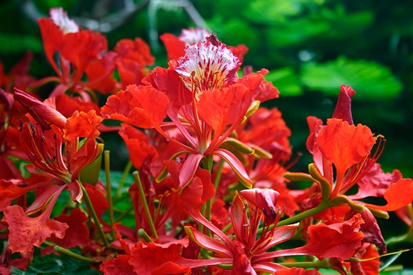 Descripción de foto - Flor de flamboyán completamente abierto. - Crédito de foto - jtstarke1