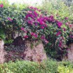 Árbol de Buganvilia en Guatemala