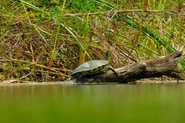 Descripción de foto - Tortuga sobre un tronco, sobre el agua, alcanzando unas ramas para almientarse. - Crédito de foto - Parque Nacional El Rosario
