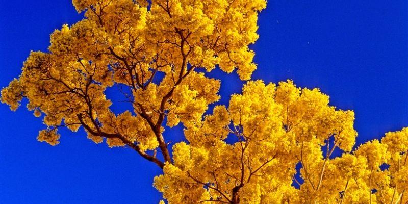 Descripción de foto - Vista de la flor amarilla de palo blanco con fonde del color azul del cielo. - Crédito de foto - Dukas Presseagentur