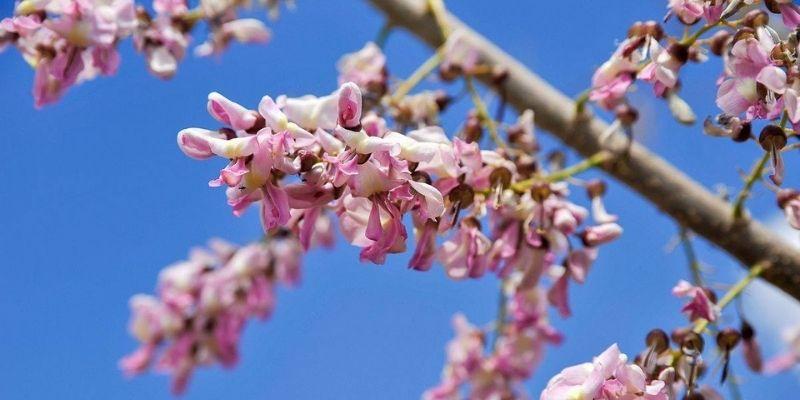 Descripción de foto - Vista de la flor de la madre Cacao y al fondo el cielo despejado. - Crédito de foto - El Sabor de mi tierra