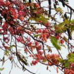Árbol de carao en Guatemala