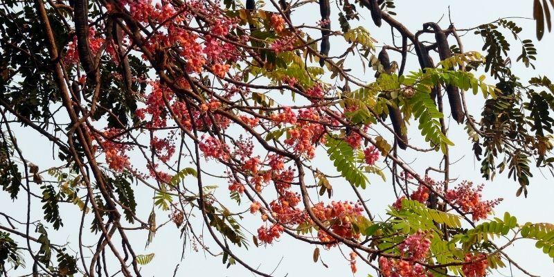 Descripción de foto - Vista de las ramas de árbol de Cassia grandis con flores recién abriéndose. - Crédito de foto - mime