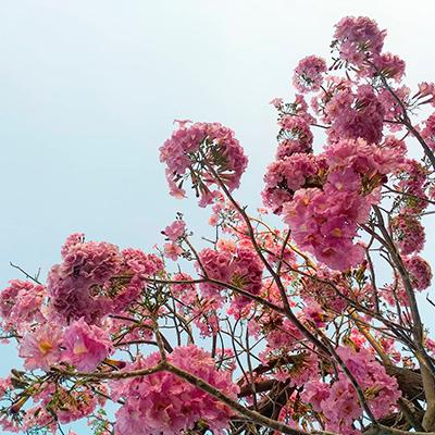 Descripción de foto - Vista desde abajo de las flores de matilisguate en la ciudad de Guatemala. - Crédito de foto - @dafneorantes - Instagram