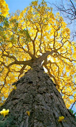 Descripción de foto - Vista desde abajo del árbol completo del Palo blanco, desde el tronco hasta las ramas con flores y el cielo. -Crédito de foto - Joshlyn Sand