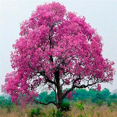 Descripción de foto - Vista lejana de una Tabebuia Avellanedae Pink, un tipo de Tabebuia de color rosado intenso. - Crédito de foto - IndiaMart
