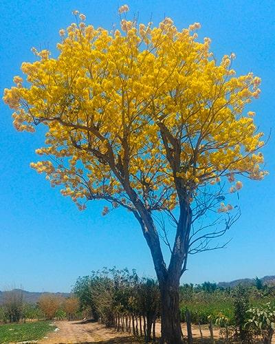 Descripción de foto - Vista lejana del árbol de palo blanco y sus flores en medio de un campo. - Crédito de foto - Treeworld Wholesale