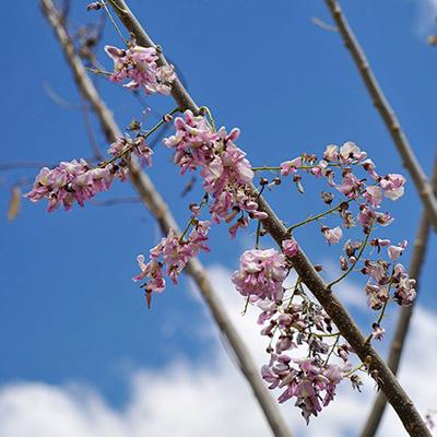 Descripción de foto - Vista lejanda de la flor de Madre Cacao donde se ve el ramo completo. - Crédito de foto - El sabor de mi tierra