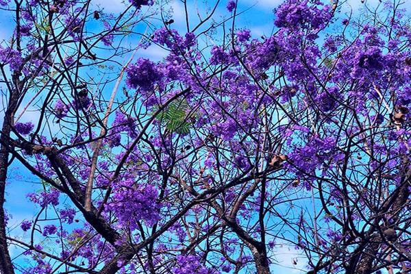 Descripción de foto - acercamiento de flores y ramas de árbol de guayacán. - Crédito de foto @paulavidal97 - Twitter