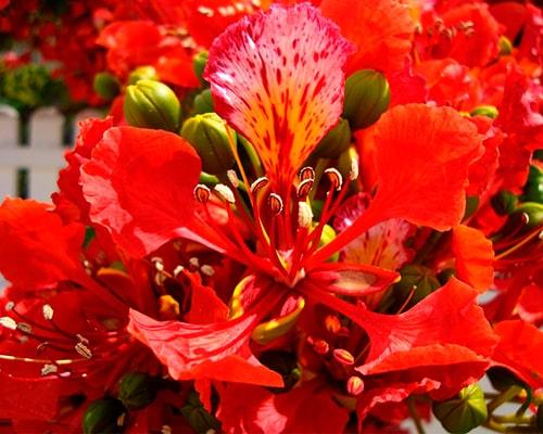 Descripción de foto - acercamiento de la flor de flamboyán con sus pétalos abiertos. - Crédito de foto - badins