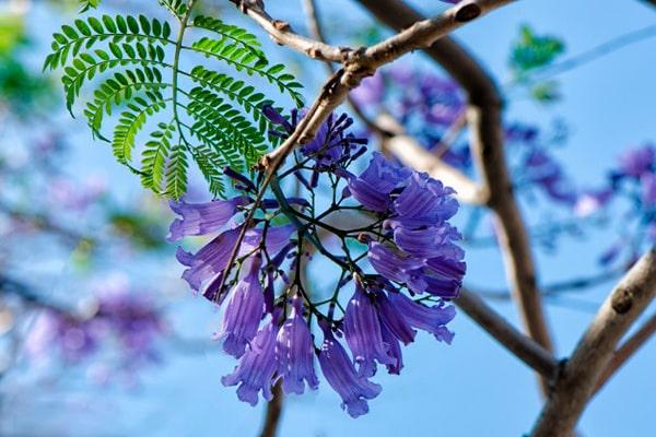 Descripción de foto - acercamiento de la flor de jacaranda, colgando de las ramas del árbol. - Crédito de foto - Freepik