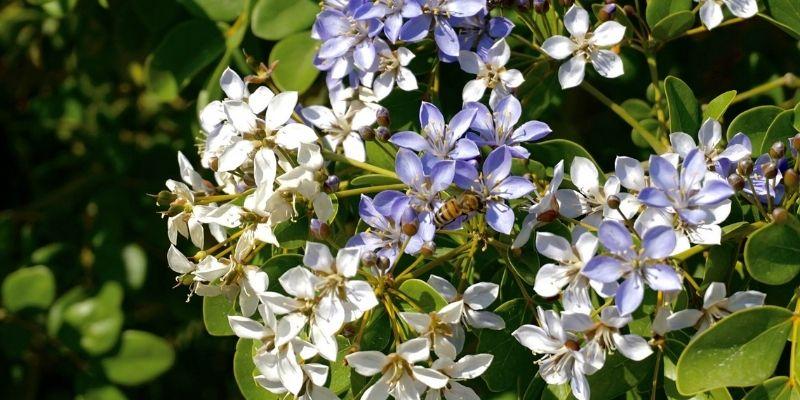 Descripción de foto - acercamiento de las flores de guayacán de color blanco y morado, con una abeja polinizando. - Crédito de foto - Tus buenas noticias