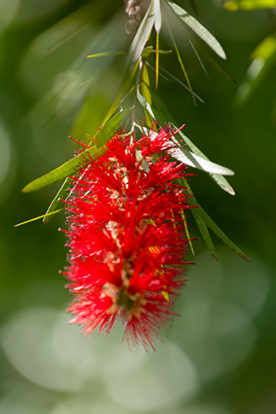 Descripción de foto - acercamiento de las flores del calistemo rojo. - Crédito de foto - Byron Ortiz A